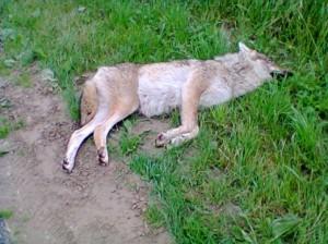 wolf5052728-522x391